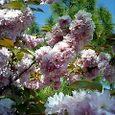 尾道・浄土寺の八重桜
