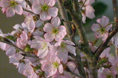 枝挿しの桜