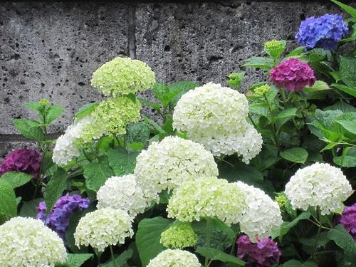 妹の家の前にある紫陽花の花